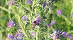 Bee on Purple wildflowers Stock Footage