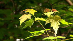 4K TV Demo - Red and green Maple leaves in the sun with dark forest background Stock Footage