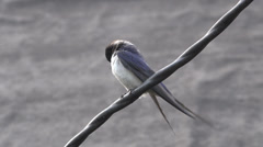 Swallow sitting on wire, farm Stock Footage
