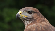Stock Video Footage of european common buzzard, bird of prey, buteo buteo
