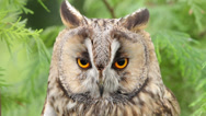 Stock Video Footage of long eared owl, bird of prey, aseo otus