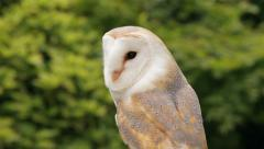 barn owl, bird of prey, tyto alba - stock footage