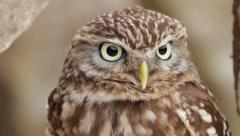Little owl, bird of prey, athena noctua Stock Footage