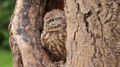 little owl, bird of prey, athena noctua sits in tree - stock footage
