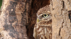 Little owl, bird of prey, athena noctua sits in tree Stock Footage