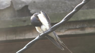 Stock Video Footage of Swallow sitting on wire, farm