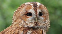 Tawny owl, bird of prey, strix aluco Stock Footage