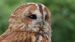 tawny owl, bird of prey, spins head round, strix aluco - stock footage
