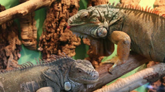 Two big lizards motionless sitting on tree Stock Footage