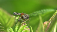 Stock Video Footage of Scorpionfly insect grass 4k