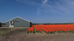 Bulb grower storage shed, pan orange tulip field in front of row of dunes Stock Footage