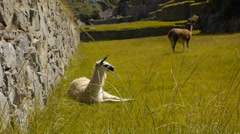 White alpaca in Machu Picchu Stock Footage