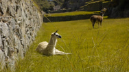 Stock Video Footage of White alpaca in Machu Picchu