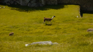 Stock Video Footage of Alpacas in Machu Picchu, Peru