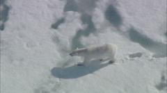 Arctic Tundra Polar Bears Stock Footage