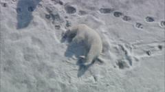 Polar Bear Arctic Tundra Stock Footage