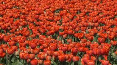 Orange tulip rows in field - full screen, zoom out + zoom in Stock Footage