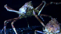Japanese Spider Crabs Stock Footage