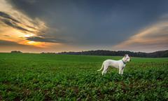 Dog on the field at sunset Stock Photos