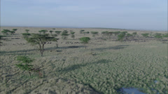 Savanna Wildebeest Grazing Stock Footage