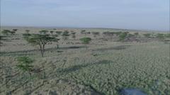 Savanna Wildebeest Grazing Stock Footage