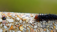 Stock Video Footage of Colorful Barbed Butterfly Caterpillar Creeping along the Stone.Macro