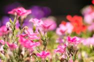 Stock Photo of Pink Flowers Blossom