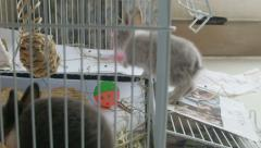 Two Dwarf bunnies play and frolic inside cage Stock Footage