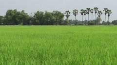 Rice Field with toddy palm Stock Footage
