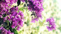 Bougainvillea, a genus of thorny ornamental vines. Violet. 4k Stock Footage