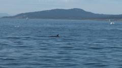 Minke, whale, minke whale, baleen, 4K, UHD Stock Footage