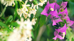 Bouganvillea flower, violet Stock Footage