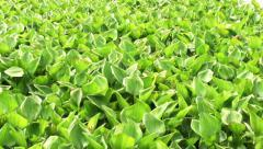 River water hyacinth Stock Footage