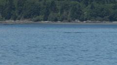 Orca aka Killer Whale Breach - stock footage