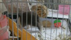 Two Dwarf bunnies play and frolic inside cage 2 Stock Footage