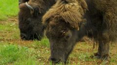Bison feeding forest wilderness area, USA Stock Footage
