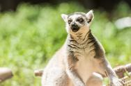 Stock Photo of Ring-Tailed Lemur