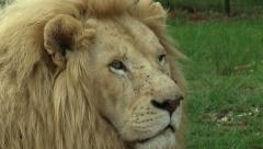 South african lion, wildlife - HD Stock Footage
