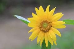 Sunflower with raindrop Stock Photos