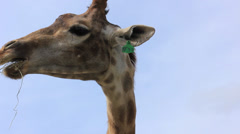 Stock Video Footage of African giraffe eating grass