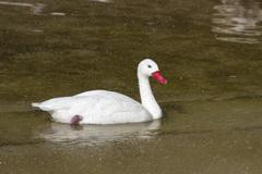 coscoroba swan that floats on the lake in a spray of raindrops - stock photo
