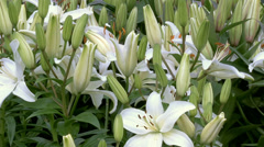 White Lilly flowers tilt down - stock footage