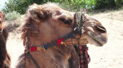 Closeup profile view of a Camel Stock Footage