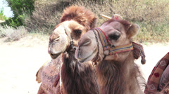 Camel head Stock Footage