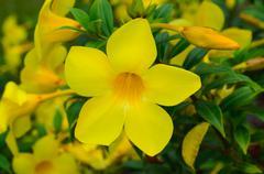 Closeup of Allamanda Cathartica flowers Stock Photos