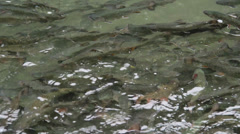 Nature and Wildlife Element - Swining Trout Crowd - stock footage
