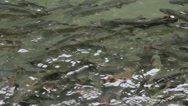 Stock Video Footage of Nature and Wildlife Element - Swining Trout Crowd