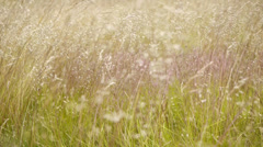 Ripe grass blowing in the wind. Stock Footage