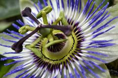 Blossoming passion flower. Stock Photos