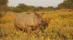 White rhinoceros and calf standing among yellow flowers, South Africa Stock Footage